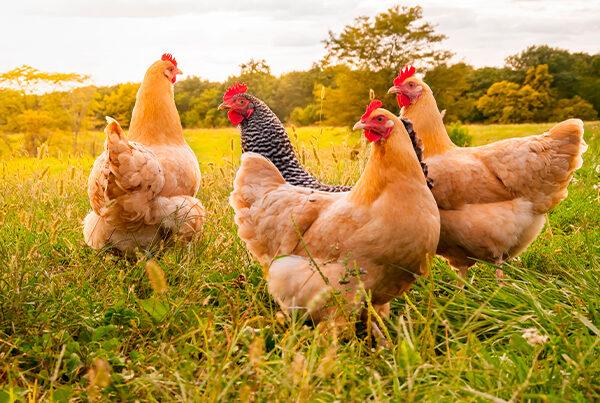 True Grade Poultry